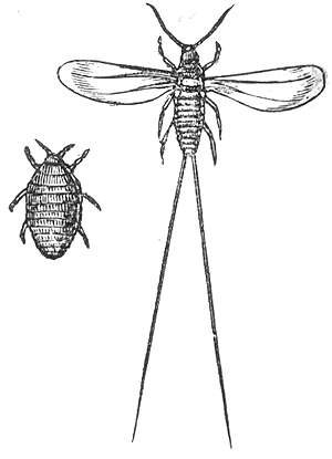 Drawing of Cochineal Insects